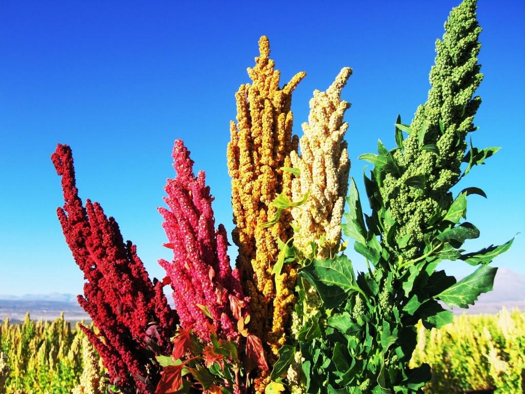 Plantaciones de Quinua en Bolivia. Fuente: http://www.sudamericahoy.com/