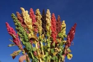 Quinua boliviana