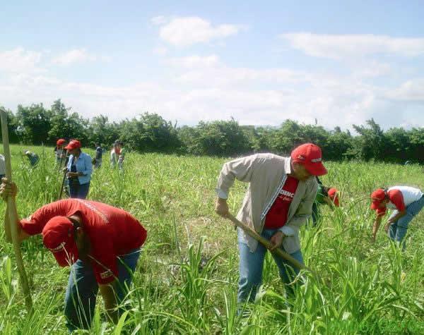 área cultivada de maíznuevo
