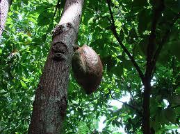 El cacao silvestre se exporta a Suiza./ Fuente flickr.com
