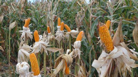 plantacion-maiz-Santa-Cruz