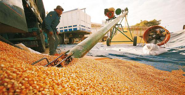Avicultores- maíz
