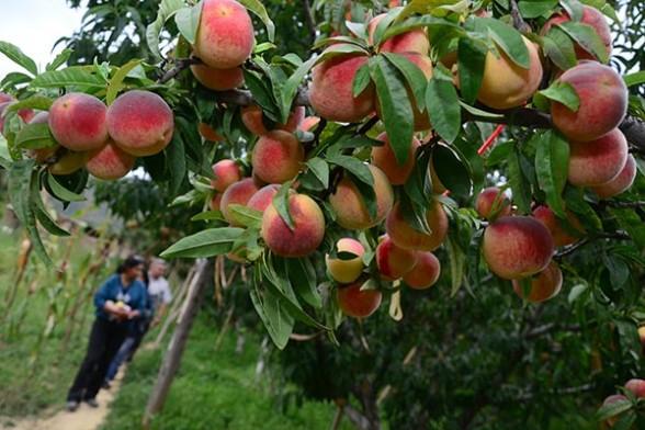 agropecuaria-frutas