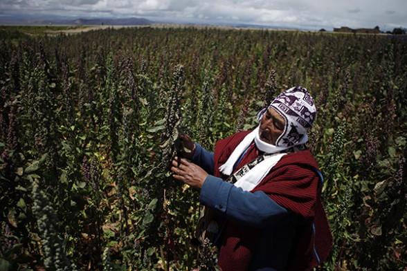 Cultivo de quinua en una zona del altiplano del país. Fuente: Ap Agencia