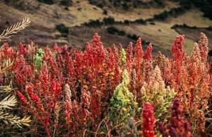 Plantaciones de quinua