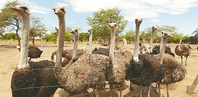 La propiedad Avestruces Peniel, ubicado en Santa Cruz, cuenta con 380 aves y funciona desde 2008. En sus 20 hectáreas los animales crecen para luego ser comercializados/ El Deber