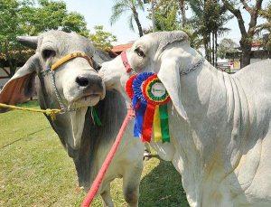 646 bovinos cebuinos participarán en la Expocruz. / cbn.dailyexpressbolivia.com