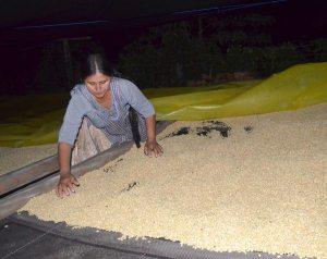 Taipiplaya, por su altura sobre el nivel del mar, ha logrado producir un café de gran calidad, calificado como uno de los mejores del mundo./ El Diario
