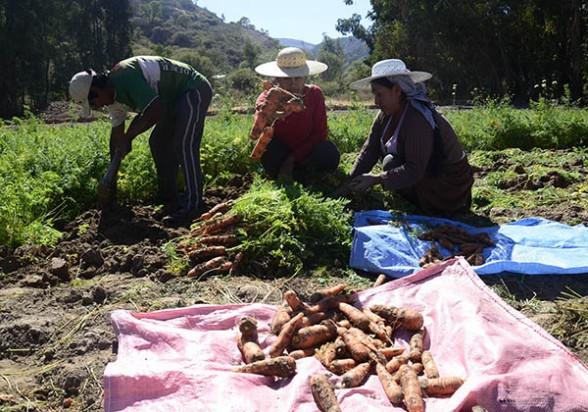 cultivo cochabamba